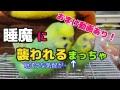 かごの上で遊ぶセキセインコのはる&まっちゃ(おまけ動画、初めての水浴び!)